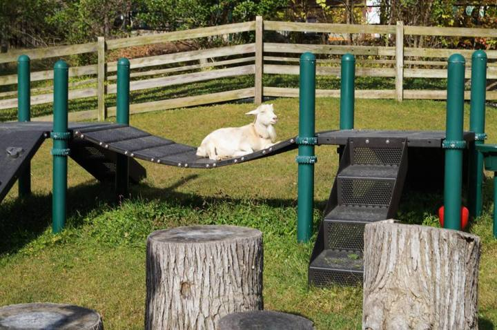 White goat sitting on a playground bridge.
