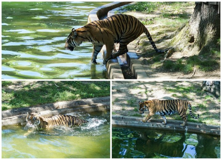 Tiger getting into the water.