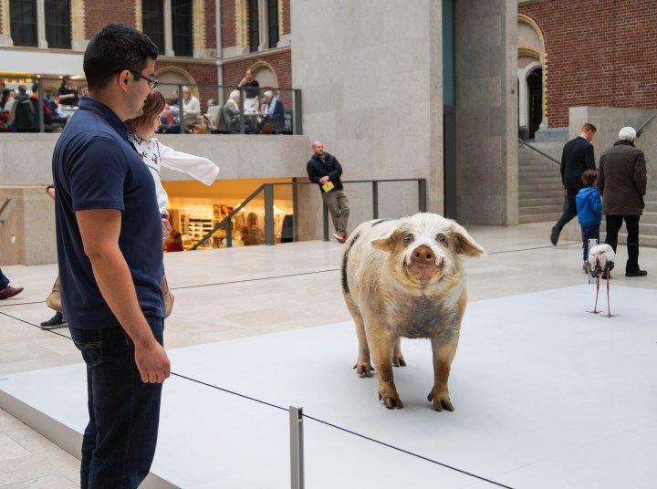Looking at replica of a pig at Rijksmuseum