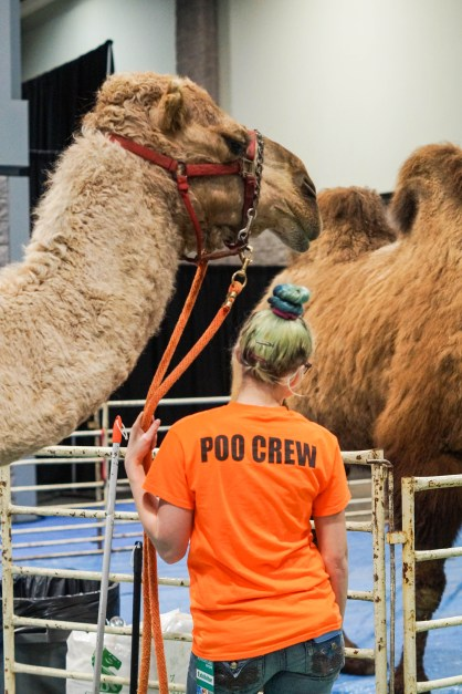 Woman with an orange shirt stating, Poo Crew, standing in front of a camel.