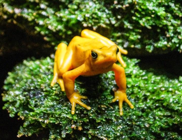 Yellow Frog at the National Aquarium.