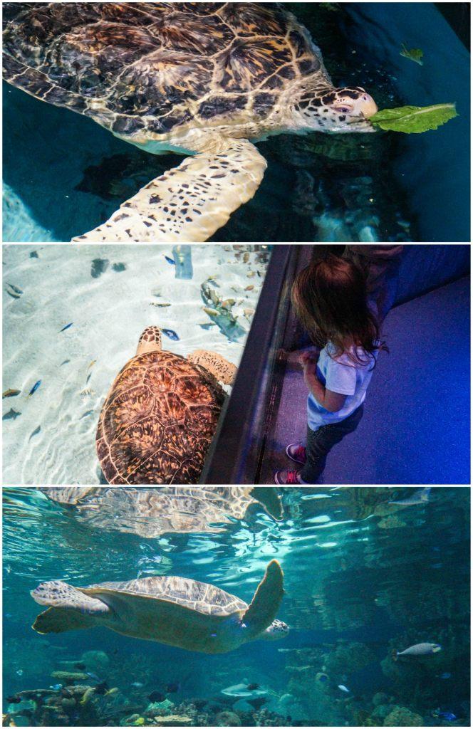 Green Sea Turtle eating lettuce leaves at the National Aquarium.