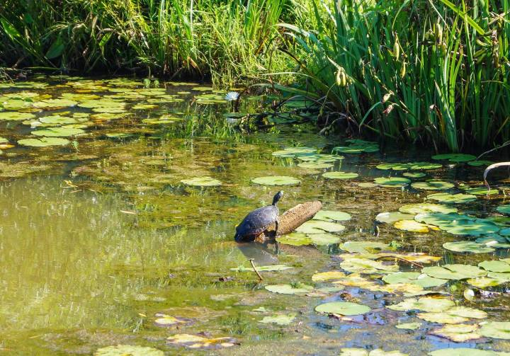 Turtle sitting on a log in a pond at the Kenilworth Park and Aquatic Gardens