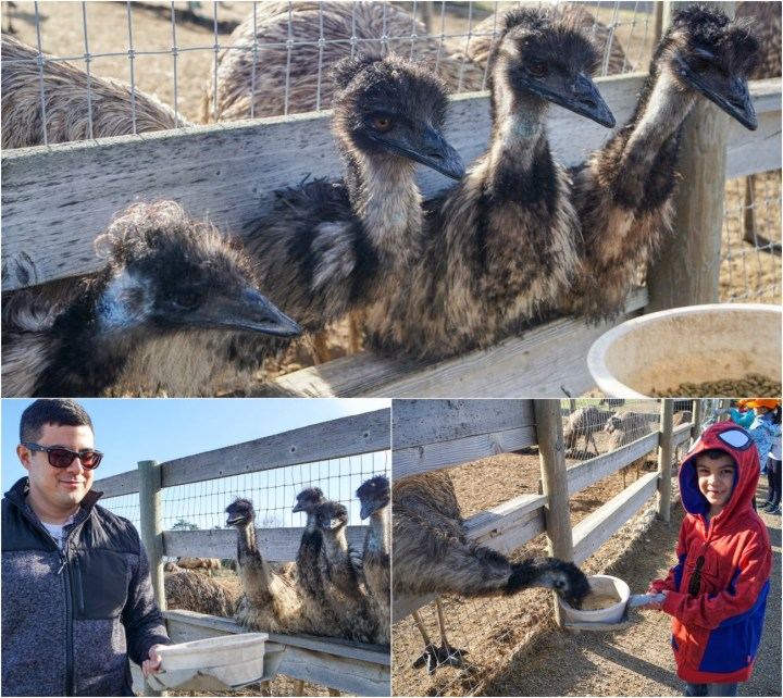 Emus eating at Ostrichland USA