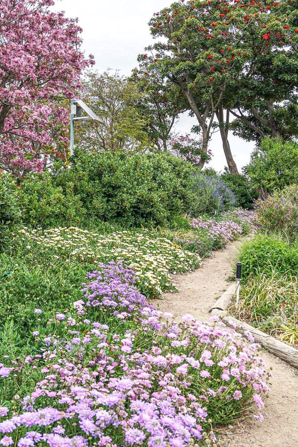 Path lined with purple flowers at South Coast Botanic Garden.