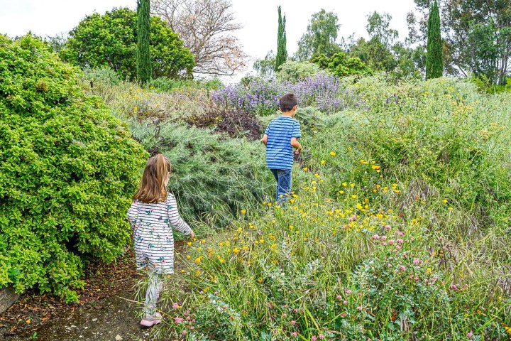 Walking up a path with green shrubs and yellow flowers at South Coast Botanic Garden.