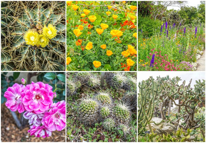 Cactus flowers and poppies at South Coast Botanic Garden.