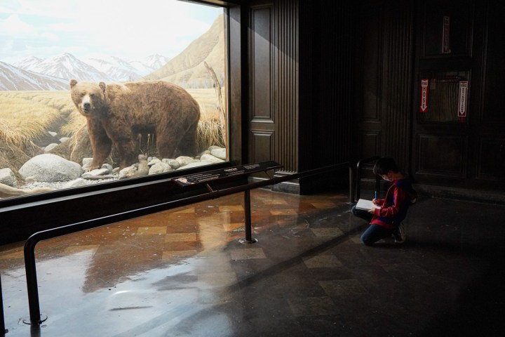 Boy sitting in front of Grizzly Bear Diorama and drawing a picture of the bear.