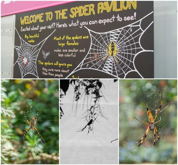 Four photo collage of Spider Pavilion with close up of Orb-Weaver Spiders.