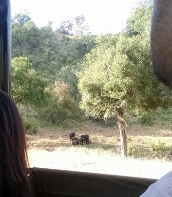 Buffalo in the shade