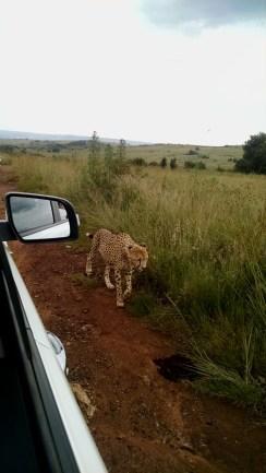 Cheetah along side the truck