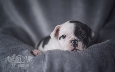 Metropolis French Bulldogs – Aubree & George's Litter