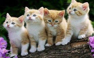 Maulana Syekh Mudo Abdul Qadim Belubus,Ulama Pemelihara Kucing