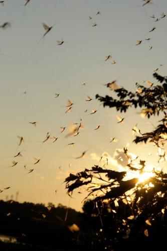 Edlund-mayfly-hatch-swarm-target-walleye-160615