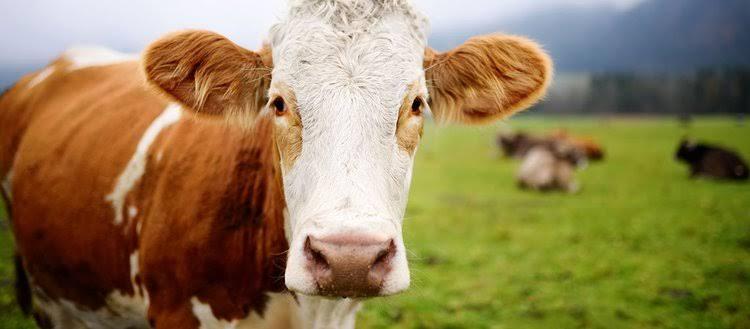Küçük Kapasiteli Hayvancılık İşletmelerine Yem Desteği Verilecek