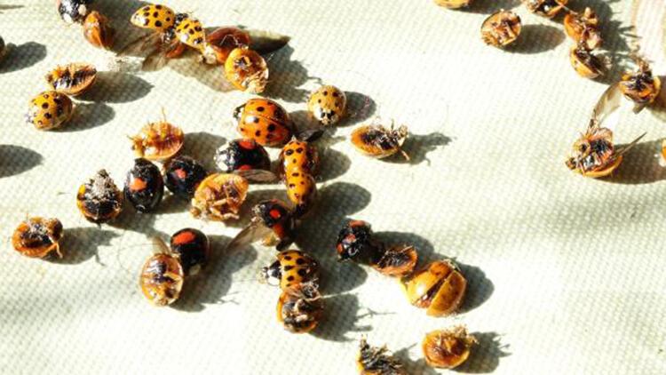Rize'yi İstila Eden Uğur Böceklerinin Sırrı Ortaya Çıktı
