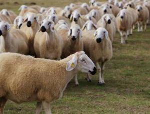 Proje Kapsamında 20 Bin Koyun Verilecek!