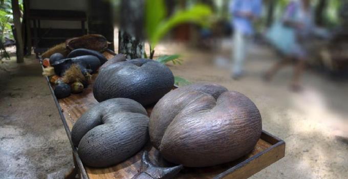 Meyve Vermesi 50 yıl Sürüyor… Dünyanın En Büyük Tohumu 'Coco De Mer'