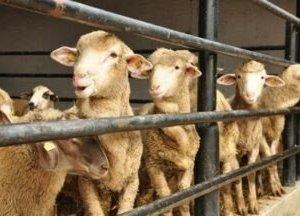 Koyunların Ölümüne Yol Açan Çiftçi Suçlu Bulundu