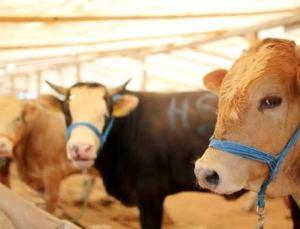 Kurbanlık Koç, Koyun ve Dana Fiyatları 2021! Küçükbaş ve Büyükbaş Hayvan Kurbanlık Fiyatları Ne Kadar?