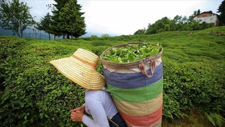 ÇAYKUR, Tarihinin En Yüksek Yaş Çay Alımını Yaparak Rekor Kırdı