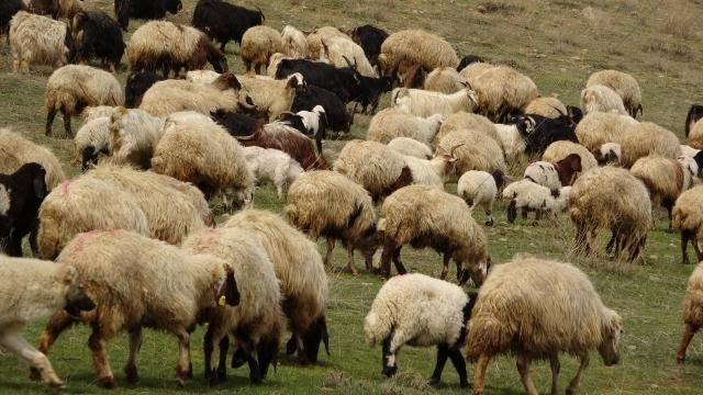 Küçükbaşta Sürü Büyütme ve Çoban İstihdamına Destek