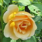 These orange roses smell great - from heirloomroses.com