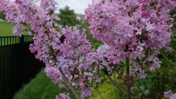 Traditional Lilac