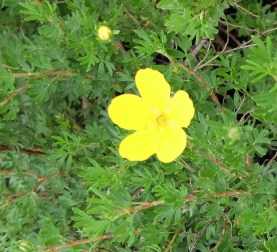 Yellow Broomstick is a perennial that requires very little maintenance.