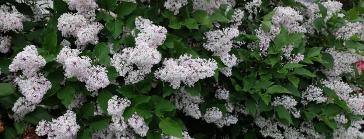 Asian lilac at at House of Beor