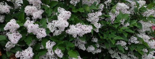 Asian lilac at at House of Beor