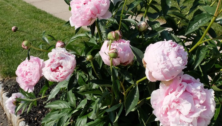 Peonies at House of Beor