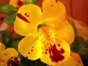 Flor de Bach Gorse