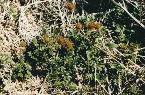 Acaena novae - zealanidae - Bidgee-widgee