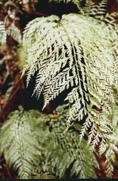 Asplenium bulbiferum - Mother Spleenwort
