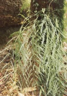 Asplenium flaccidum - Weeping Spleenwort