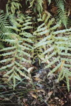 Blechnum minus - Soft Water fern