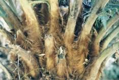 Disksonia antarctica - Soft Tree-fern