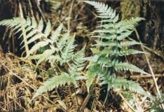 Lastreopsis acuminata - Shiny Shield-Fern
