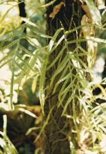 Microsorum scandens - Fragrant Fern