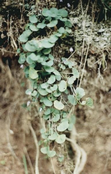 Viola sieberiana - Tiny Violet