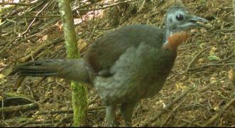 Another good shot of the Lyrebird