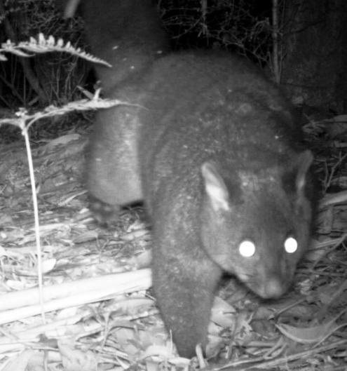 Brush-tail Possum