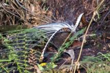 Lyrebird Display