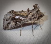 Chrysodeixis argentifera - Tobacco Looper