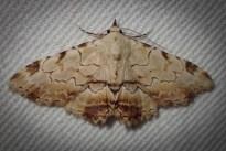 Sandava xylistis