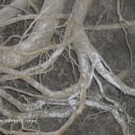 blanco de las raíces