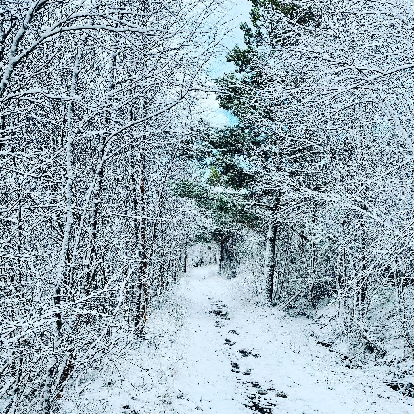 Abriachan Forest in Snow