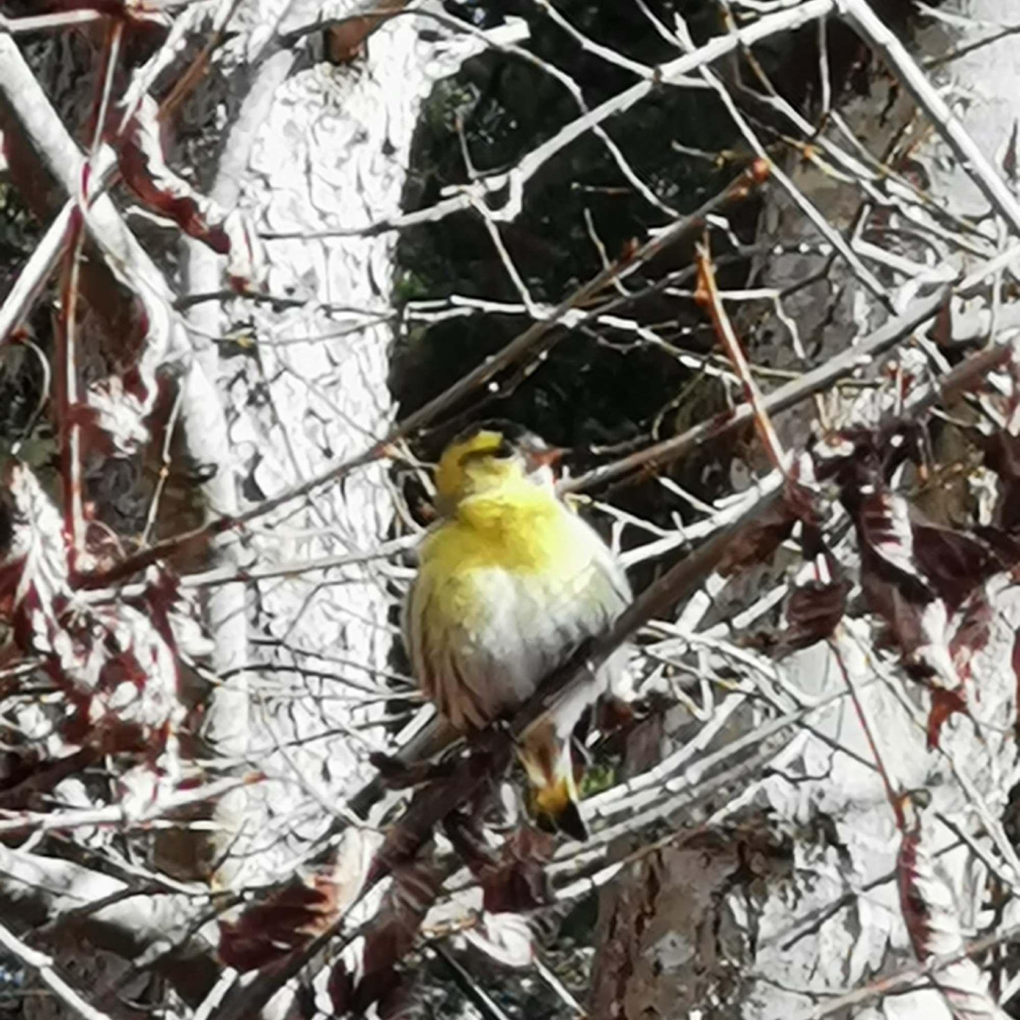 Yellow bird on Golspie Walk