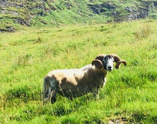 Sheep Ben Chonzie